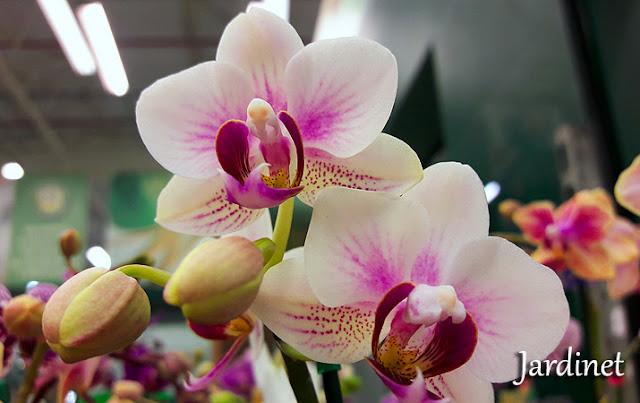 Mini orquídeas phalaenopsis como cuidar - Orquídea borboleta