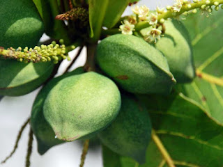 indian almond fruit images