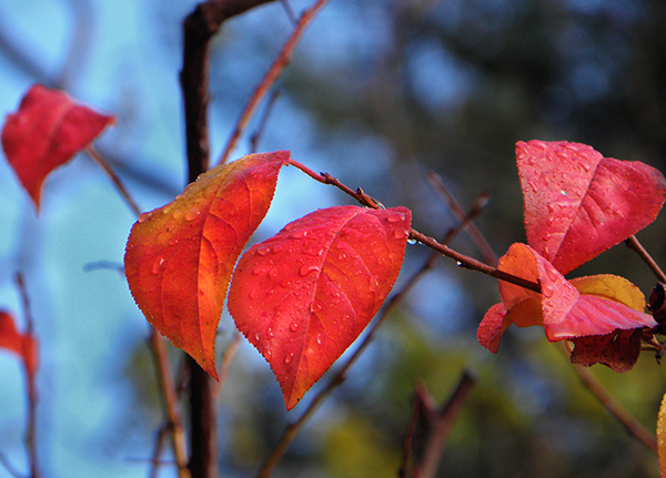 A Few Red and Gold Plum Leaves Against the Blue sky