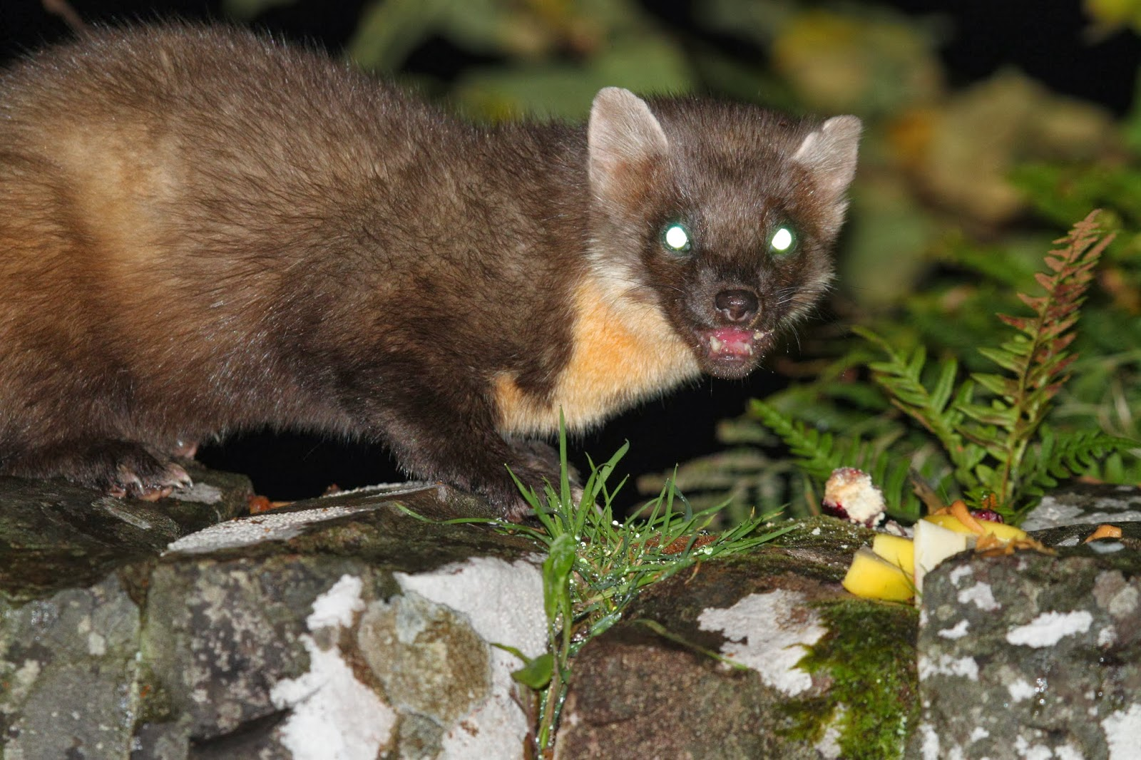 Wild With Pants Pine Martens At Applecross