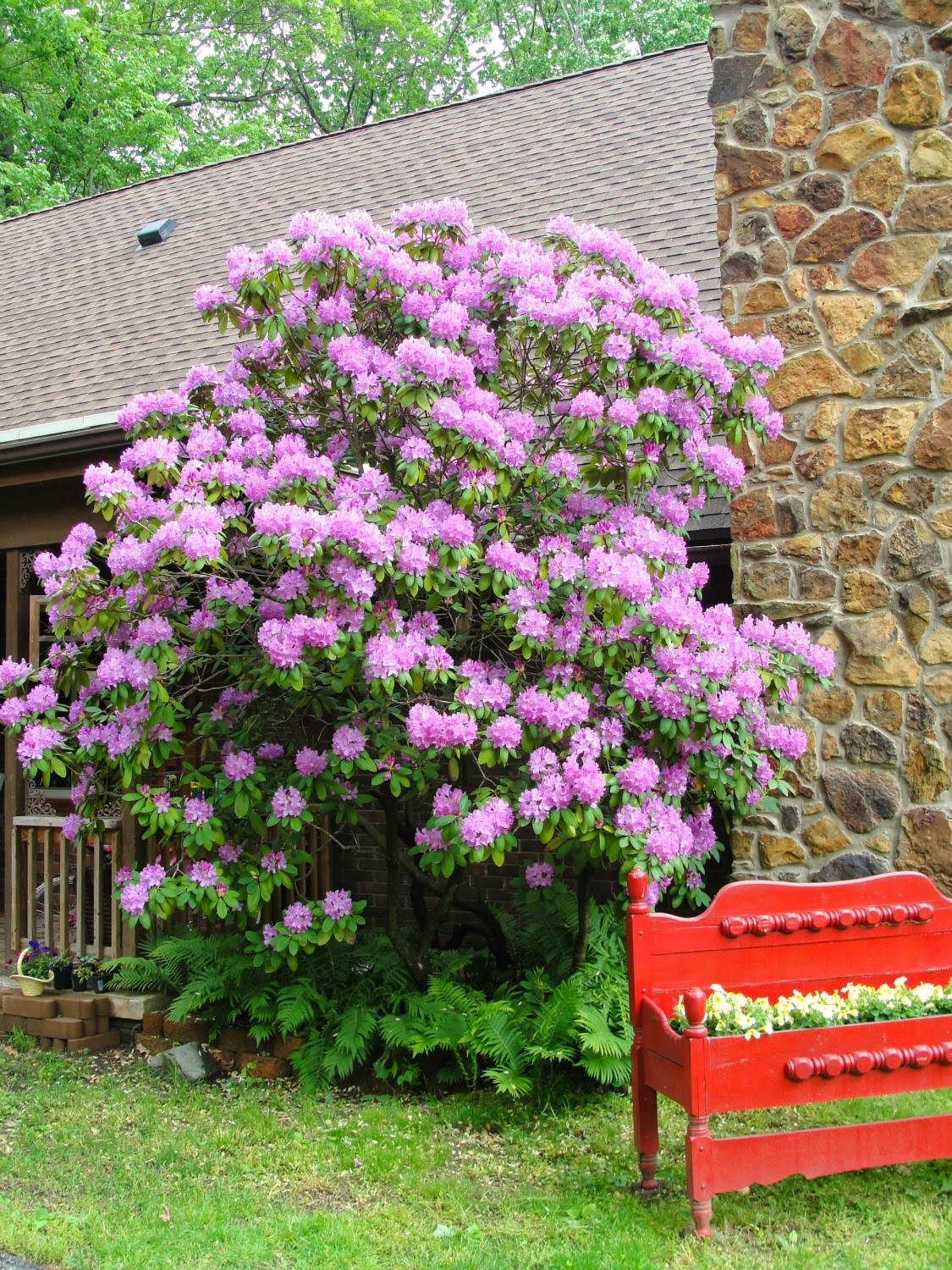 Blooming large Rhododendron