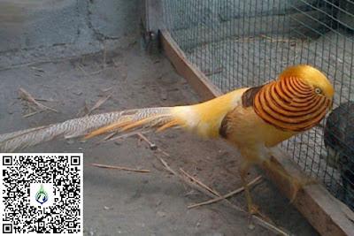 harga yellow pheasant terbaru