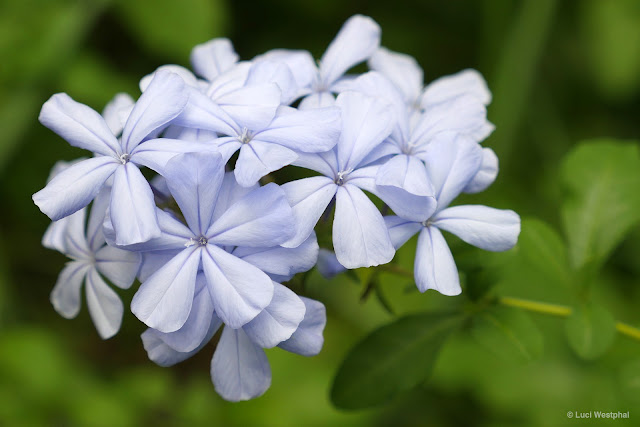 The delicate, yet sticky blossoms of the Blue Plumbago.
