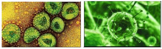 Virus MERS-CoV