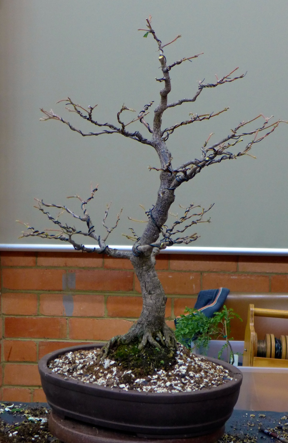 Page 10 Bonsai Society Of Victoria Wiring Chinese Elm Banksia After Defoliation And