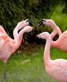 flamingos talking