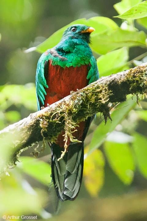 quetzal fulgido Pharomachrus fulgidus