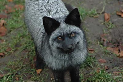 Rubah Perak (Silver Fox),  Hewan Rubah, Spesies Hewan Rubah, Tentang Hewan Rubah, Memelihara Hewan Rubah,