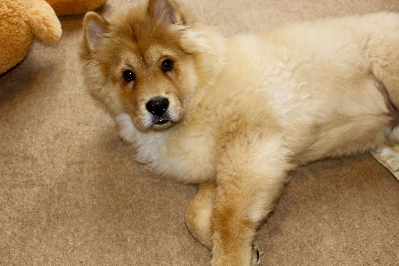 bear chowchow puppy borrowmydoggy