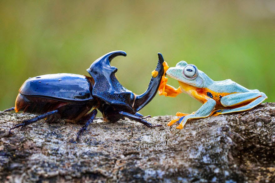 cowboy frog riding beetle animal photography-3
