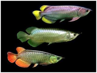memilih-ikan-arwana-silver.jpg