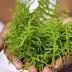 Rumput Laut dan Berbagai Khasiatnya Untuk Kesehatan
