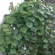 manfaat khasiat hebat daun binahong