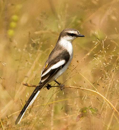 Birds of India - Photo of White-bellied minivet - Pericrocotus erythropygius