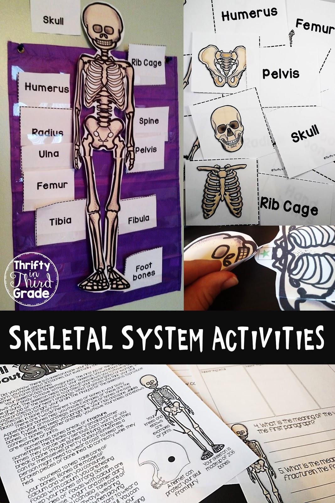 Skeletal System Thrifty In Third Grade