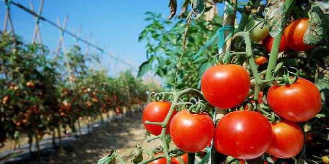 Στα 70 λεπτά για τον παραγωγό οι υπαίθριες ντομάτες
