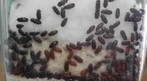 Foto Manfaat Semut Jepang Untuk Obat Ambeien Terbukti Manjur