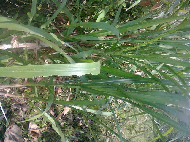 Tanaman Tebu (Sugar cane)