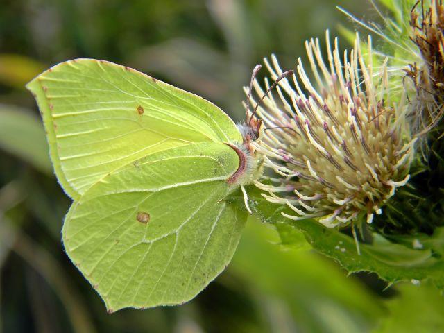 polskie motyle, łąka, fauna łąk
