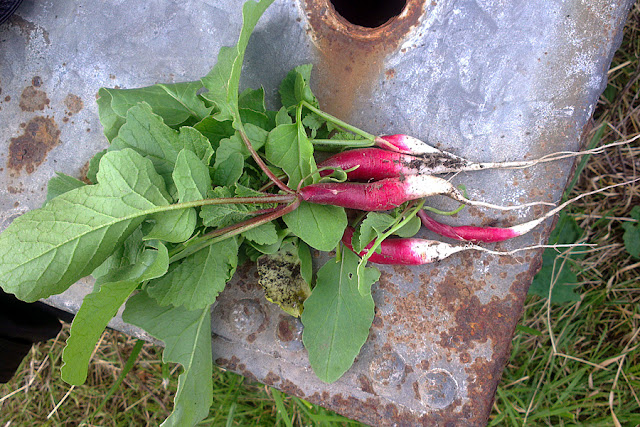 The Victory Garden - A bunch of french breakfast Radishes