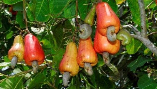 Pertanian Perkebunan Kabupaten Kupang Kepulauan Ntt