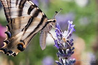 Borboleta-Zebra - Iphiclides Feisthamelii