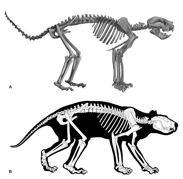 First-ever look at complete skeleton of Thylacoleo, Australia's extinct 'marsupial lion'