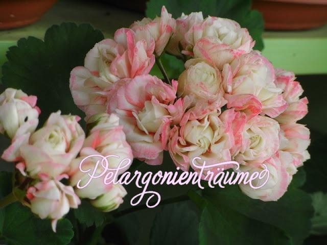 Rosenblütenpelargonie-Rosengeranie