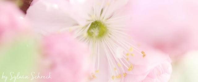 Kirschblüte - stempel einfach