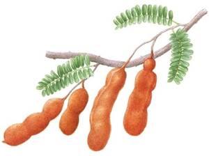 Tamarindo,  nome científico: Tamarindus indica