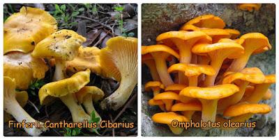 Confronto tra finfeli e Omphalotus olearius.