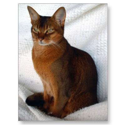 Encyclopedia Of Cats Breed Ruddy Abyssinian Cat Tawny