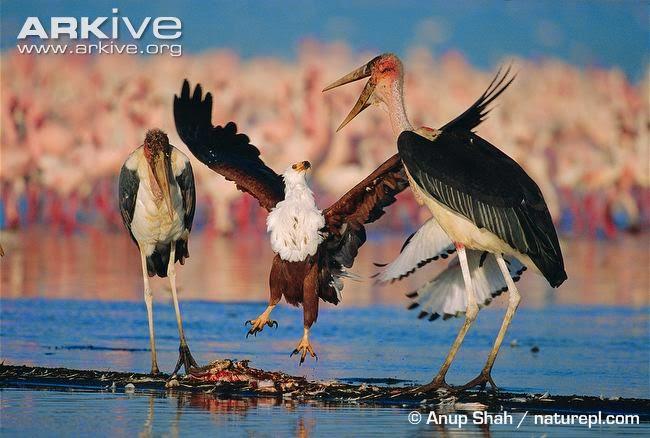interactions between african birds