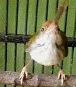 Burung Prenjak Bawah - Omah Prenjak
