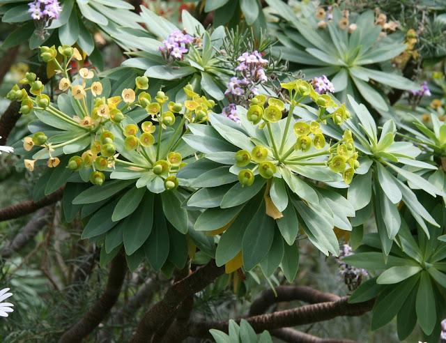 Euphorbia atropurpurea f. lutea