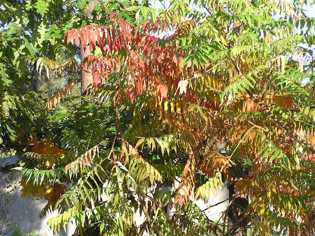 liście sumaka jesienią