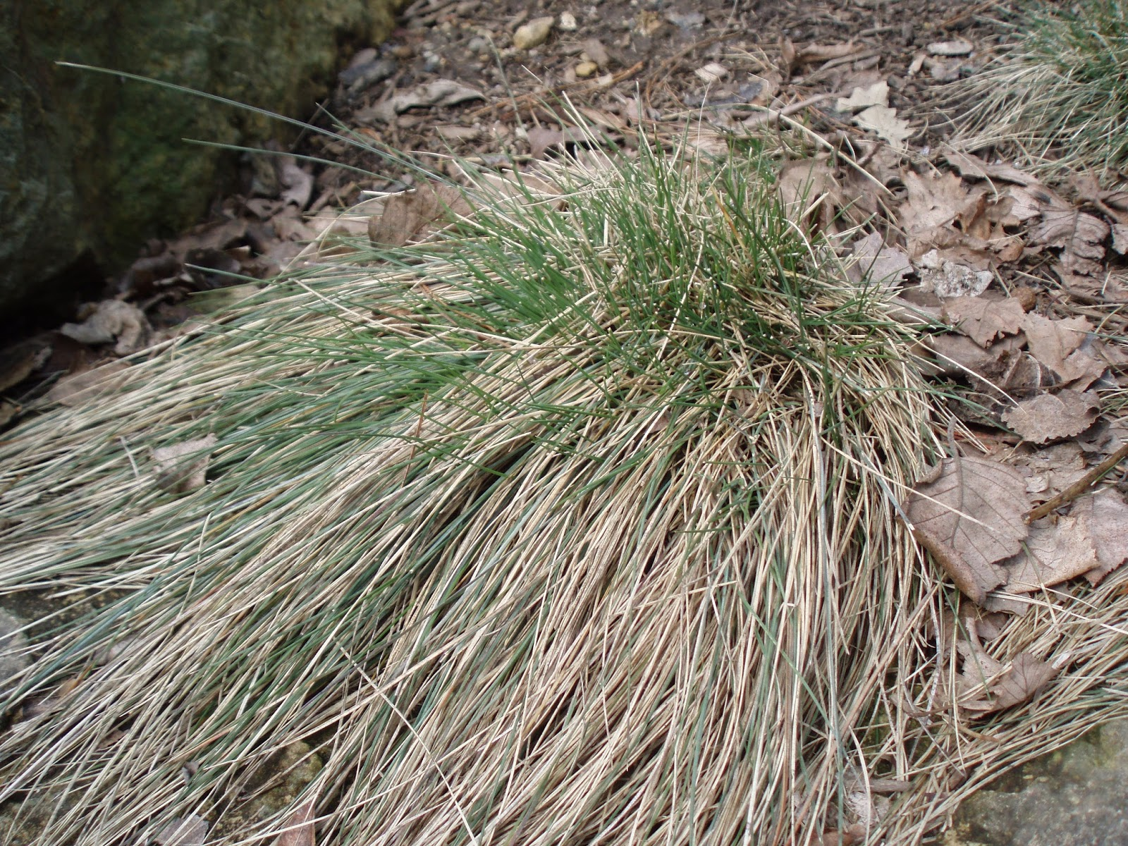 planter festuca intense blue