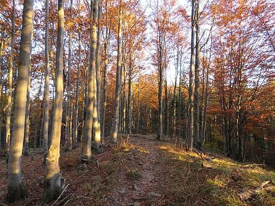 Wracamy przez bukowy las.