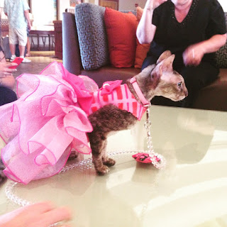Coco, the Cornish Rex, in her pink cocktail dress at BlogPaws,Coco, the Cornish Rex, in her tiara at BlogPaws, Photo by Marjorie Dawson