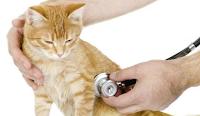 Cara mencegah penyakit virus pada kucing ras