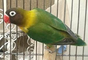 lovebird olive