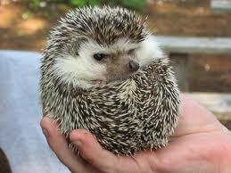 Hedgehog Pet Price >> Hedgehog Pet Cost Pet Animal