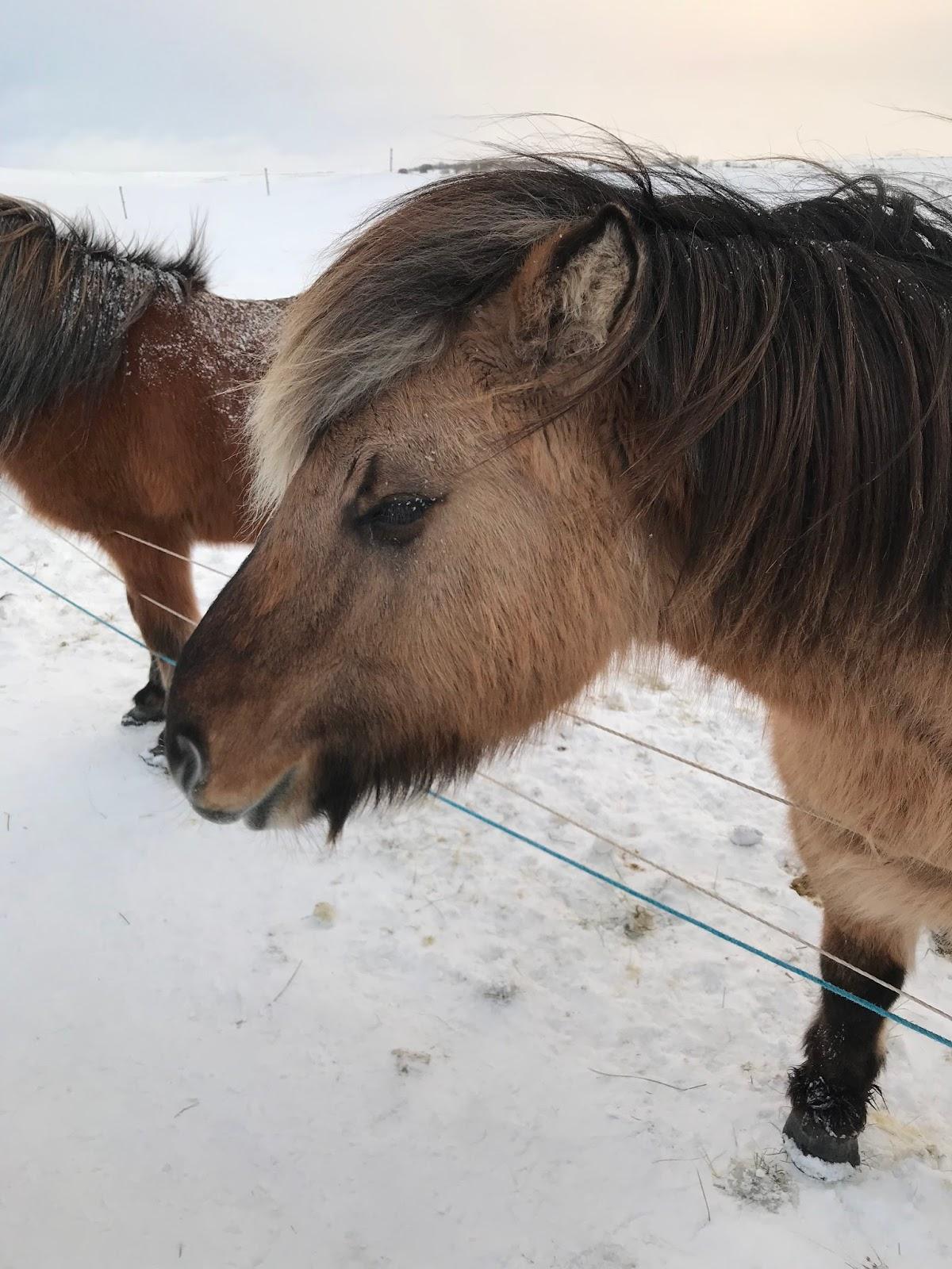 Image of Icelandic Horse