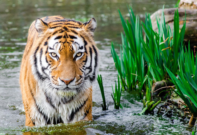 Bengal Tiger Soak Body On Water During Daytime