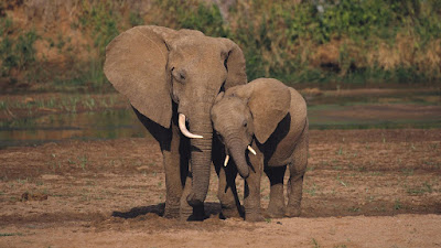 Best Animals Elephant Wallpapers , Elephant Backgrounds download Free HD, Desktop, Elephant, WideScreen, High Quality, Standard, Facebook Wallpapers Wild African Elephant Family in Jungle HD Wallpaper Elder Big Wild ElephantAnimal Wallpaper ,hd wallpaper beautiful hd wallpapers   Elephant  hd photos  Elephant  hd wallpapers   Elephant  hd images  Elephant  hd pics   Elephant  hd picturs   best animals Elephant  hd wallpapers   letest Elephant  hd images    Elephant  images   Elephant  image   Elephant  photos   Elephant  pics   Elephant  picturs