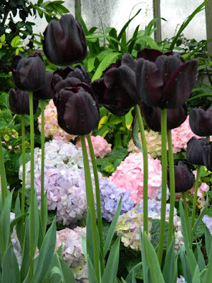 Queen of the Night black Tulips and Florist hydrangeas at the Centennial Park Conservatory Easter Flower Show by garden muses-not another Toronto gardening blog