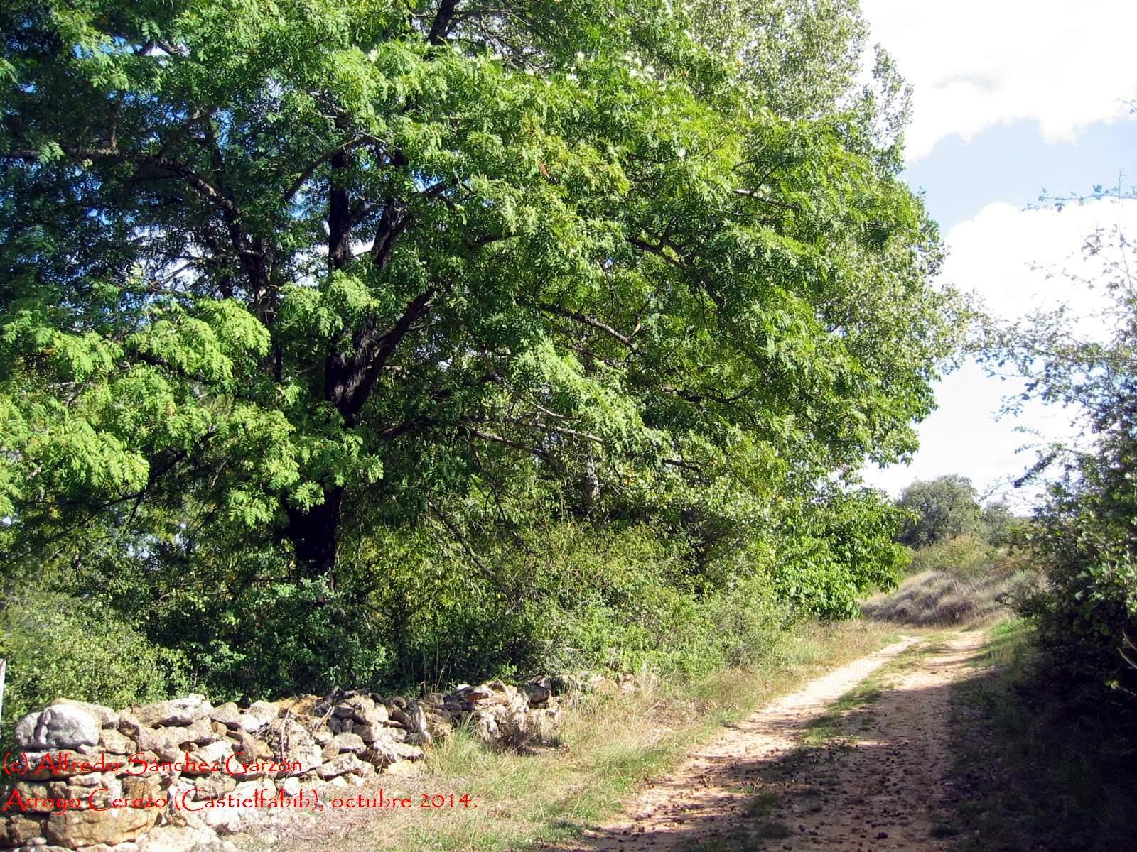 Castielfabib-arroyo-cerezo-serbal-comun