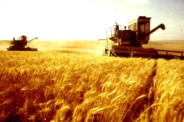 Campo di grano Gravina
