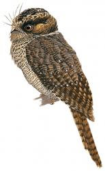 Mountain Owlet nightjar