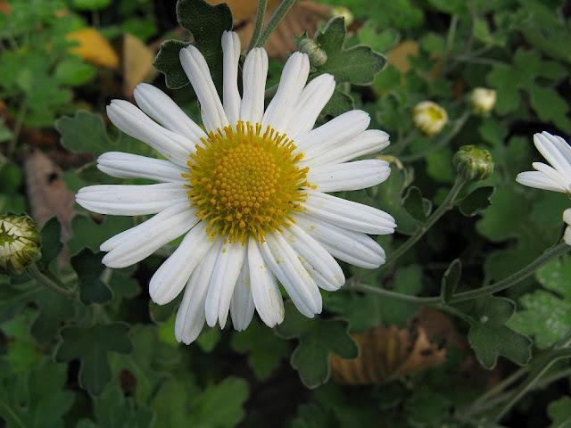 Cúc Hoa Trắng - Chrysanthemum sinense - Nguyên liệu làm thuốc Chữa Cảm Sốt